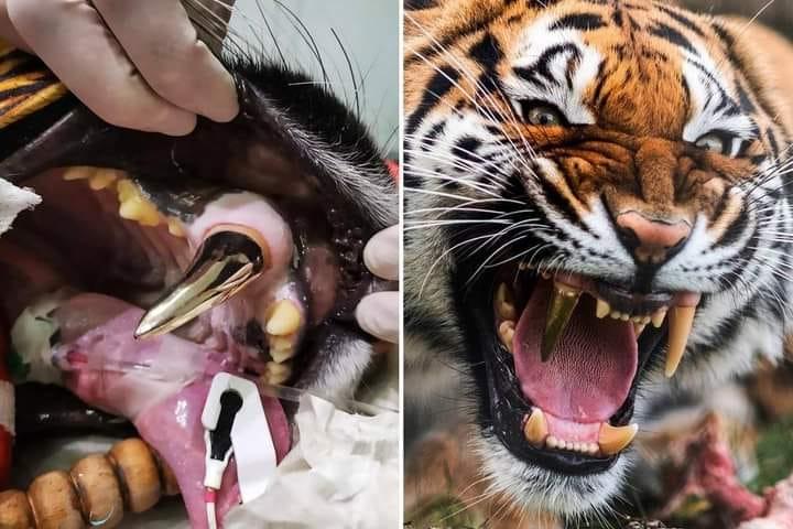 Tigre con dente d'oro